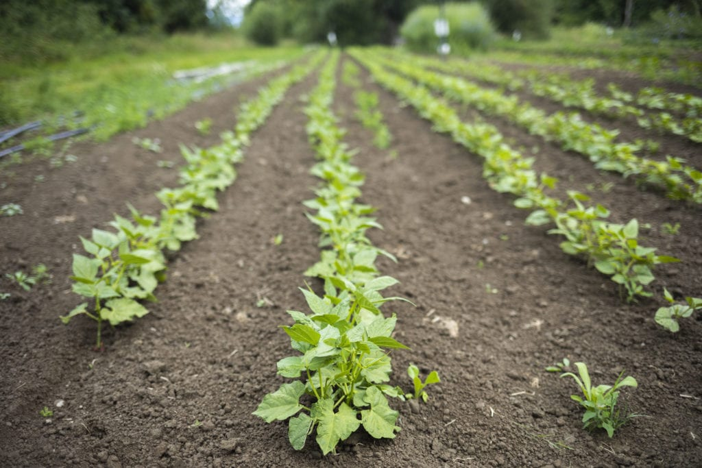 Rows of crops growing at SnoValley Tilth Farm in Carnation, WA